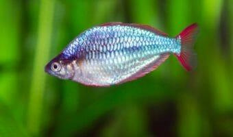 georgia-aquarium-neon-dwarf-rainbowfish