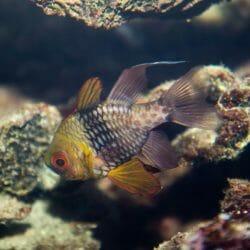 Pajama Cardinalfish 1