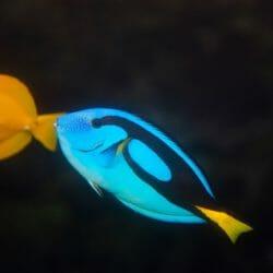 palette-surgeonfish