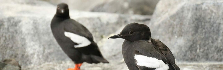 pigeon-guillemot