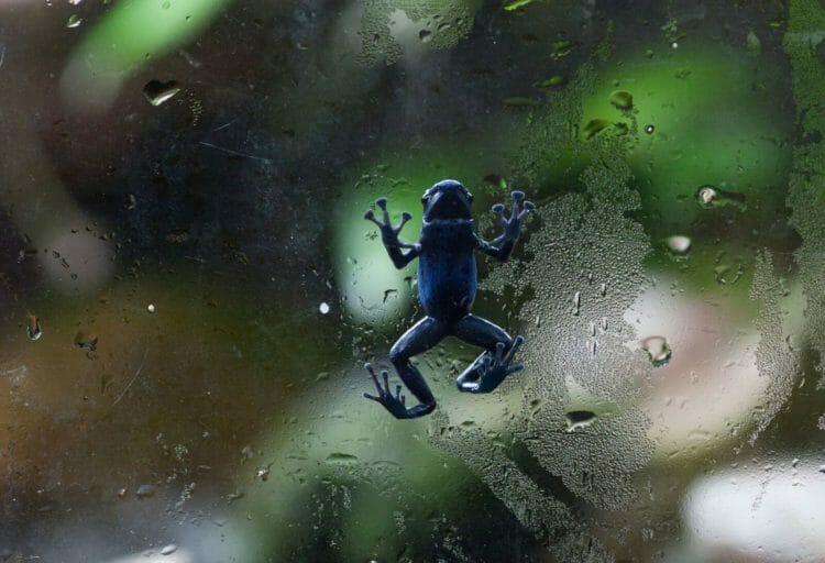 poison-dart-frogs