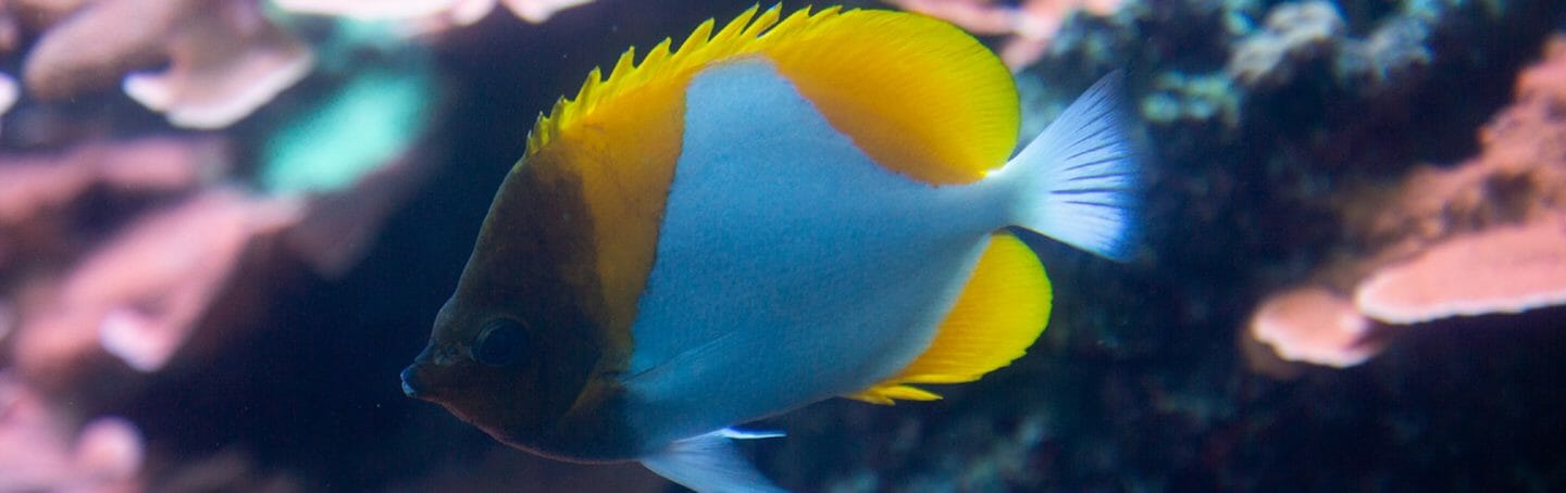 pyramid-butterfly-fish