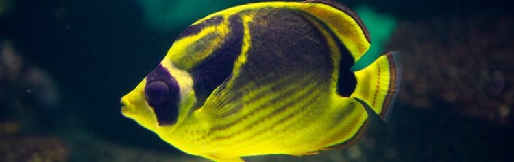 raccoon-butterfly-fish