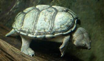 razorback-musk-turtle