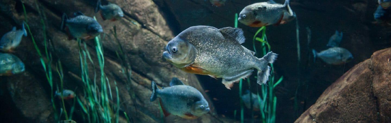 red-piranha