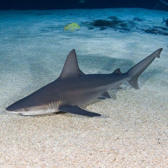 Sandbar Shark Georgia Aquarium