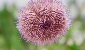 Sea Urchins 1