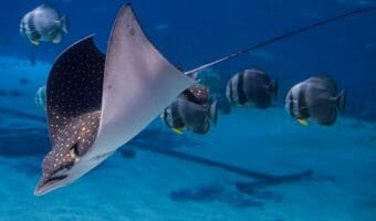 spotted-eagle-ray