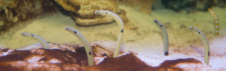 spotted-garden-eel