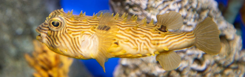 striped-burrfish