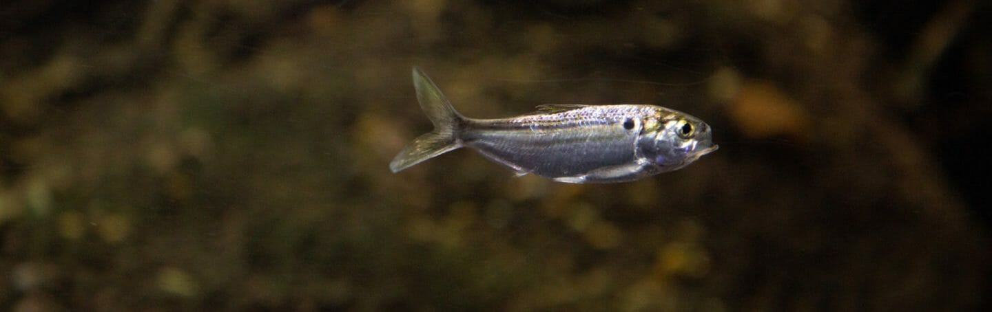 threadfin-shad