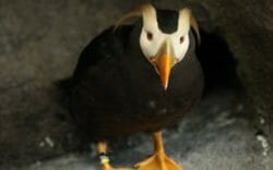 tufted-puffin
