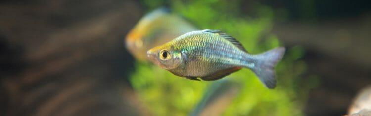 turquoise-rainbowfish