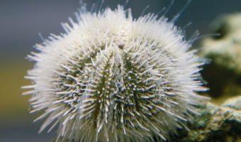 Variegated Urchin 1
