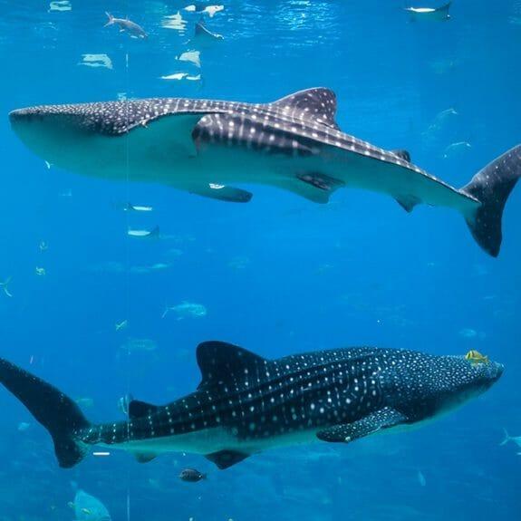georgia-aquarium-whale-shark
