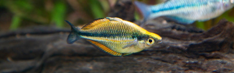 banded-rainbowfish