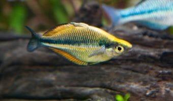 georgia-aquarium-banded-rainbowfish