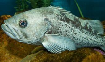 Black Rockfish 1
