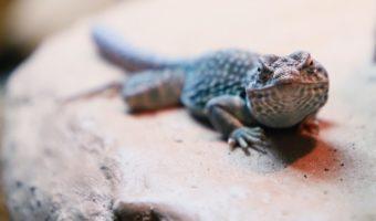 Collared Lizard 1