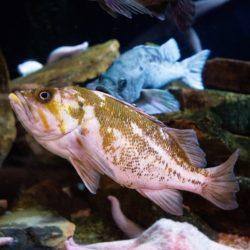 Copper Rockfish 1