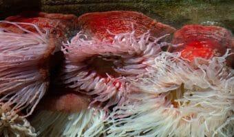 fish-eating-anemone