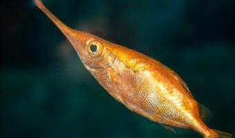longspine-snipefish