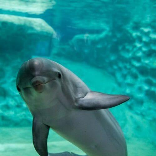 Georgia Aquarium, SeaWorld Orlando, and Florida Fish and Wildlife Conservation Commission Release Rehabilitated Dolphin After Shark Bite 1