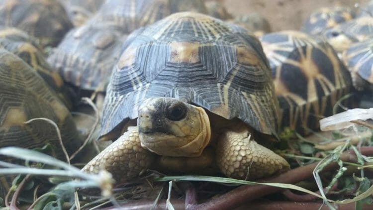 Turtle Survival Alliance Launches Rescue Mission to Nearly 11,000 Critically Endangered Radiated Tortoises Discovered in Massive Poaching Bust
