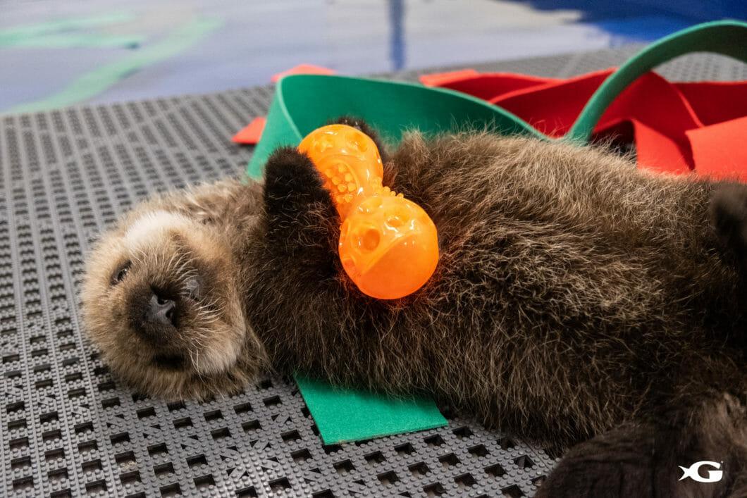 Two rescued sea otter pups arrive at Georgia Aquarium