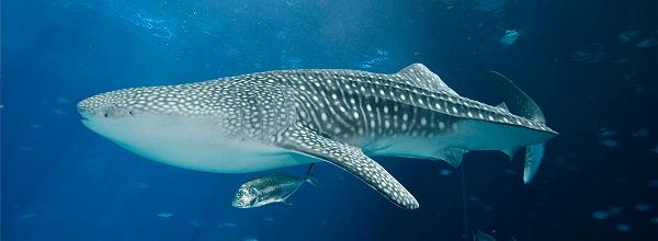 Whale Shark IPA