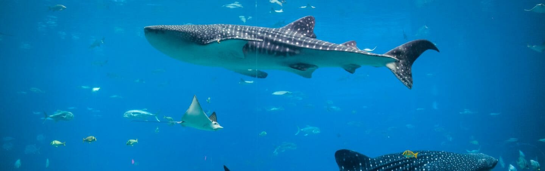 Whale Shark Day 4