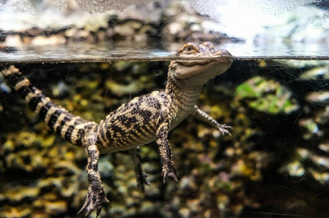 Alligator IPA 1