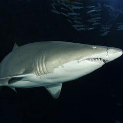 SHARKS! Predators of the Deep 2