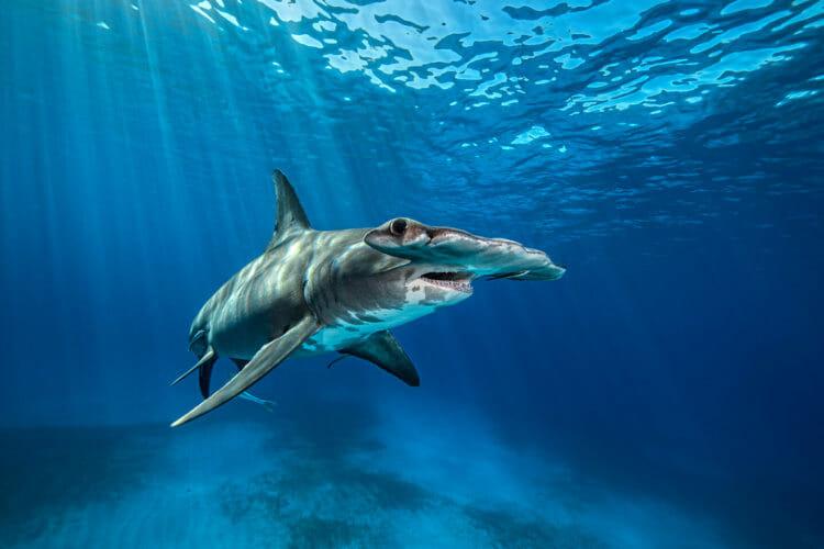 Great Hammerhead Shark - Georgia Aquarium