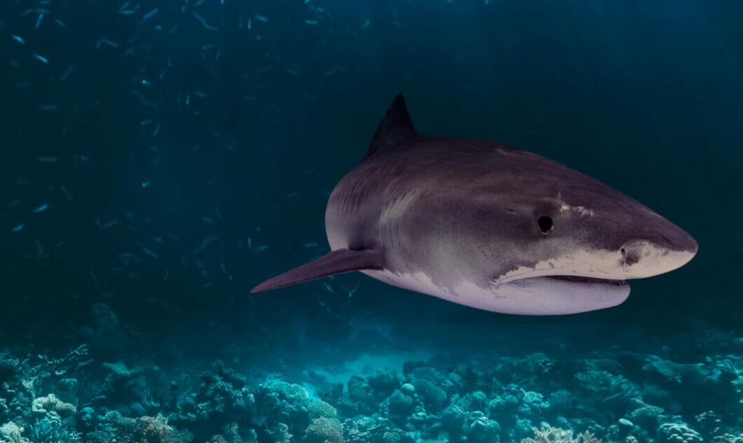 Sharks 9