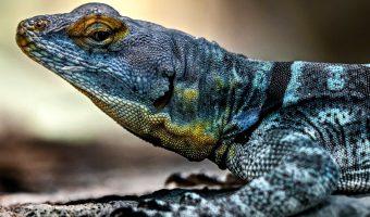 Baja Blue Rock Lizard 1