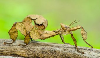 Giant Prickly Stick Insect 1